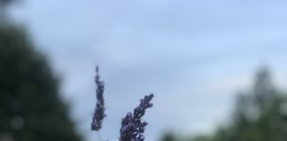How to make Lavender Oil - Boon health and beauty